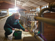 Female Farmer Feeding Calf In ...