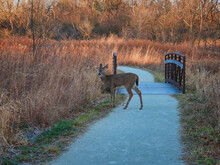 White Deer In The Woods: White-tailed Deer Doe Sniffs The High Fall-colored Vegetation On The Side Of A Path In The Woods In Front Of A Bridge At Sunrise On A Late Autumn Morning