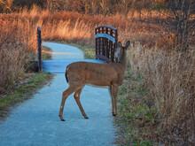 Deer In The Woods: Female Whit...