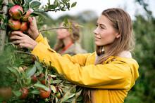 Smiling Woman Harvesting Apple...