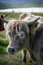 Portrait Of Young Galloway Bull