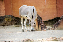 The Somali Wild Ass Is A Subspecies Of The African Wild Ass, Equus Africanus Somaliensis