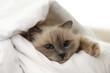 Adorable Birman cat under blanket at home, closeup
