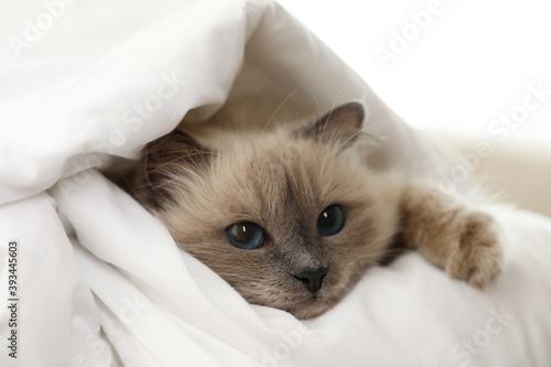 Obraz Adorable Birman cat under blanket at home, closeup - fototapety do salonu