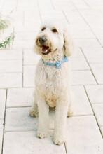 Bridal Pup