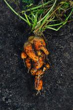 Mutant Carrot Lies On Black Soil. Ugly Carrot.