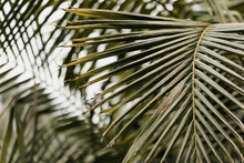 Green Palm Leaves Growing Natu...