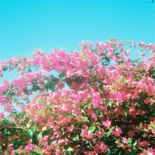 Bougainvillea Flowers In Sunshine Against Blue Sky