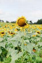 Fading Sunflower In A Field