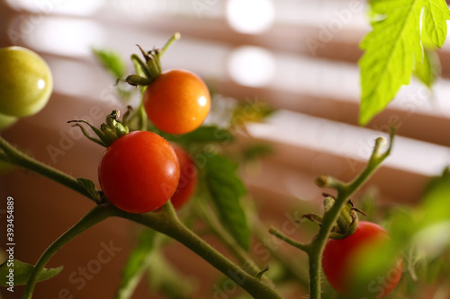 Fotografiet Tomato bush with ripening fruits on blurred background, closeup