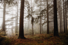 Nice Forest With Many Trees Surrounded By Fog