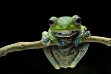 Norhayati´s Flying Frog