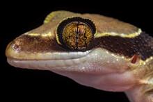 Lizard From Malaysia