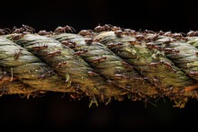 Group Of Termites Walking Through A Rope