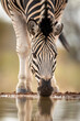 canvas print picture - Close up on zebra's face drinking water in Kruger Park in South Africa
