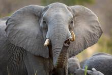 Female Elephant Looking Alert ...