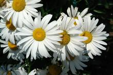 Fresh And Fading Shasta Daisy ...
