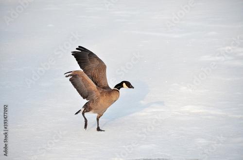 Fotografija country goose on snow
