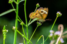 A Common Buckeye Butterfly (Ju...
