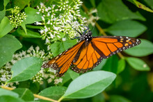 A Male Monarch (Danaus Plexippus) Takes In Nectar From Tiny White Blooms Of A Climbing Hempvine (Mikania Scandens).