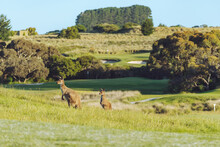 Kangaroos In Long Grass At Golf Course