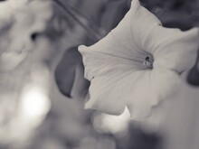 Flower In Black And White Image, Petunia Flower Plants And Blurred Background ,macro And Old Vintage Style Photo For Card Design