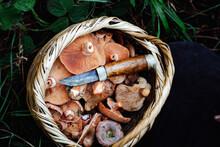 Full Basket Saffron Milk Cap. Saffron Milk Cap (Lactarius Deliciosus) Mushroom. Fall Season. Mushroom Hunt.