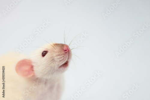 Foto white funny cute rat face with interest looks close-up