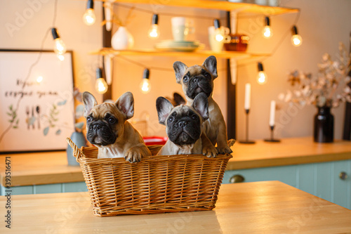 Fotografiet French bulldog puppies sitting in a basket
