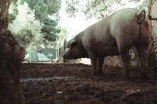 Back View Of A Pig In A Farm With Chickens In The Background