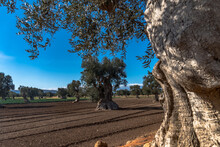 Olive Trees In The Countryside...