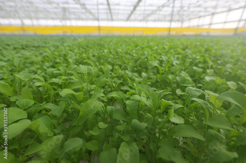 Foto Arugula plantation for sale in stores in the greenhouse