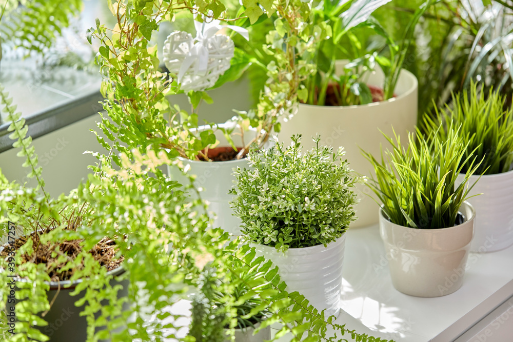 Fototapeta nature, flora and gardening concept - green flowers and houseplants at home