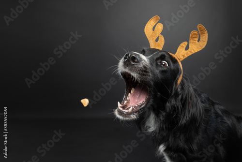 Christmas portrait of a black dog wearing reindeer antlers catching a treat on a black background.