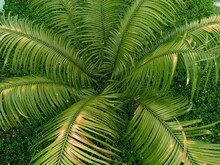 Cycas Revoluta Plant That Grows In Front Of The House