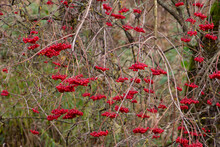 Red Berries Of The Viburnum Opulus Hanging On Bare Branches, Also Called Guelder Rose, Water Elder Or Common Snowball