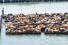 Sea Lions In The Port