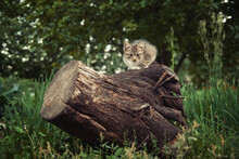 Tabby Grey Cat Sitting On Tree...