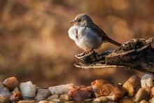 Southern Grey-headed Sparrow S...