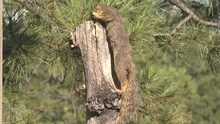 Fox Squirrel Standing South Dakota Forest Pine