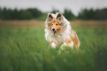 Rough Collie Run