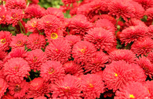 Small Red Chrysanthemums In Th...