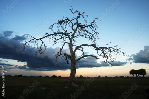 Photo A large dry tree at dusk is a landmark of the African landscape