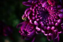 Close Up Sur Des Fleurs De Chr...