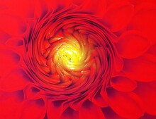 Closeup Of A Vivid Red Dahlia With Tight Compact  Yellow Center Twisting Design