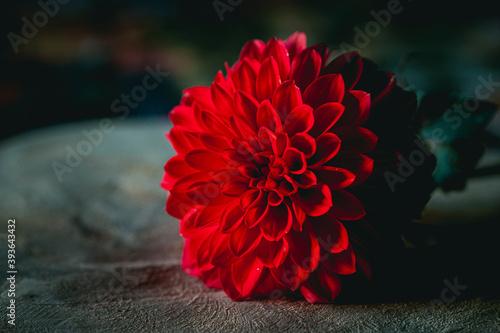 Close up sur une fleur de dahlia couleur rouge éclatant Fotobehang