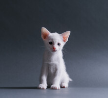Cute White Kitten Looking At C...