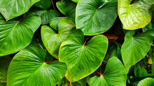Heart Shaped Green Leaves Of H...