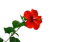 Hibiscus, Bright Red Flower On...