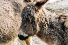 Cute Newborn Donkey  With Mom,...